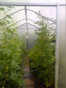 Cucumbers and tomatoes  growing in a Haygrove garden tunnel