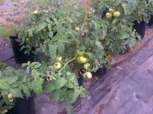 Tomatoes will be ready for harvesting within the next few weeks and delivered freshly picked to the local restaurant for added quality.